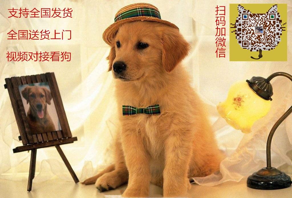 养殖场直销完美品相的泰迪犬微信看狗可见父母5