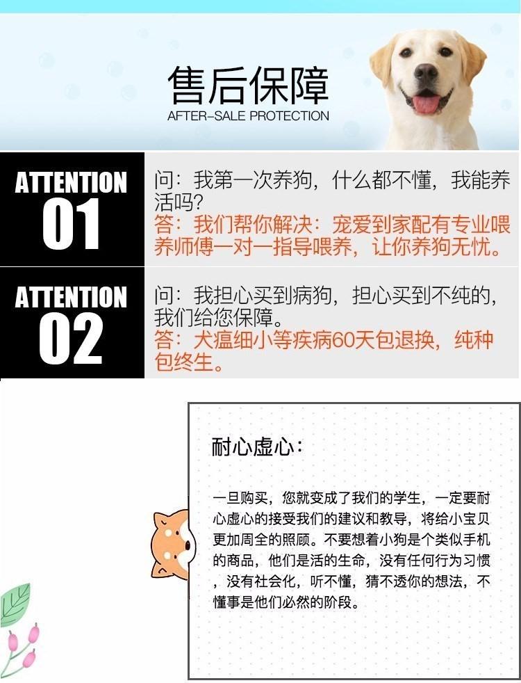 玩具纯正血统的昆明泰迪犬找新家 爱狗人士优先选购6