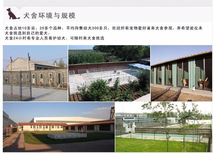 天津本地养殖基地出售韩系泰迪犬 有问题可来退换10