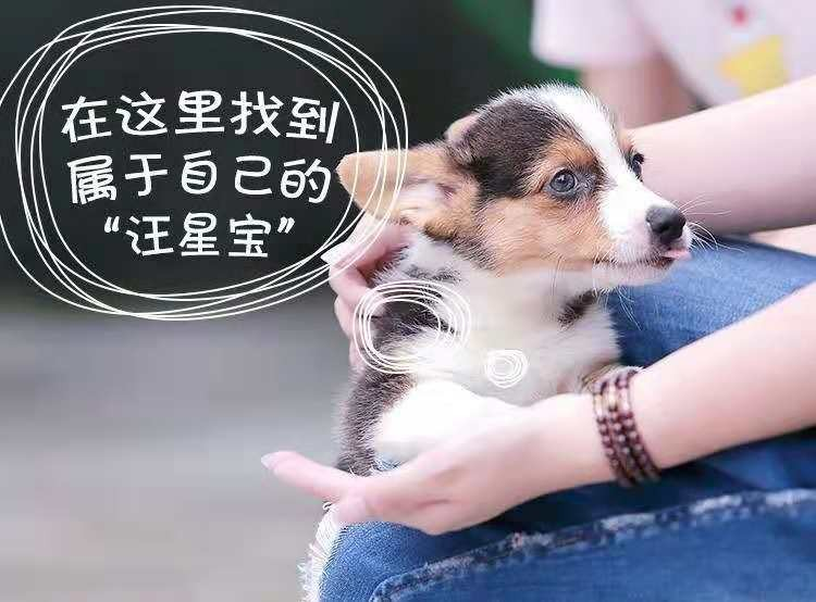 热销多只优秀的纯种泰迪犬支持全国空运发货8