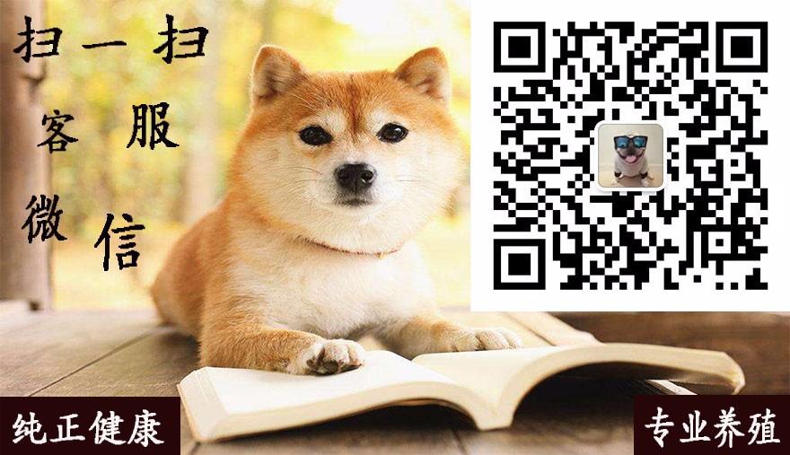 专业正规犬舍热卖优秀西施犬微信咨询欢迎选购5