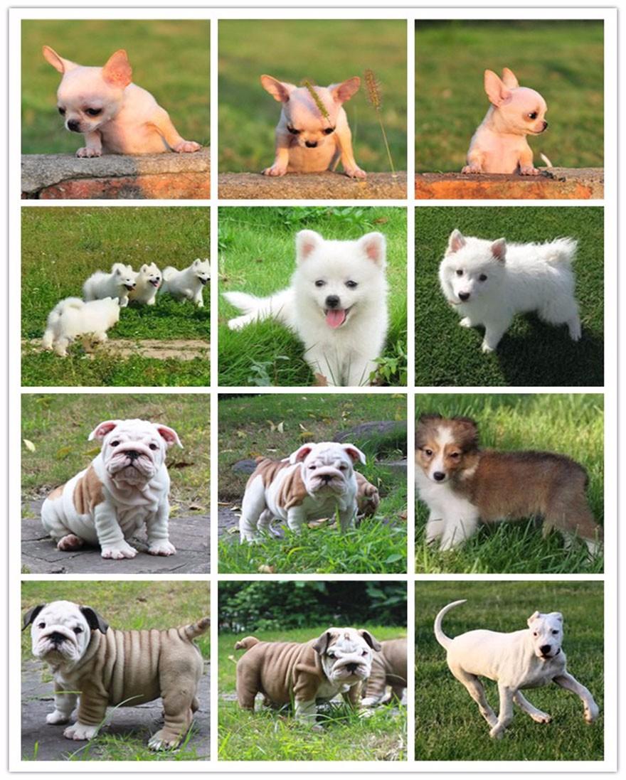 自家繁殖边境牧羊犬出售太原市区可上门看狗8