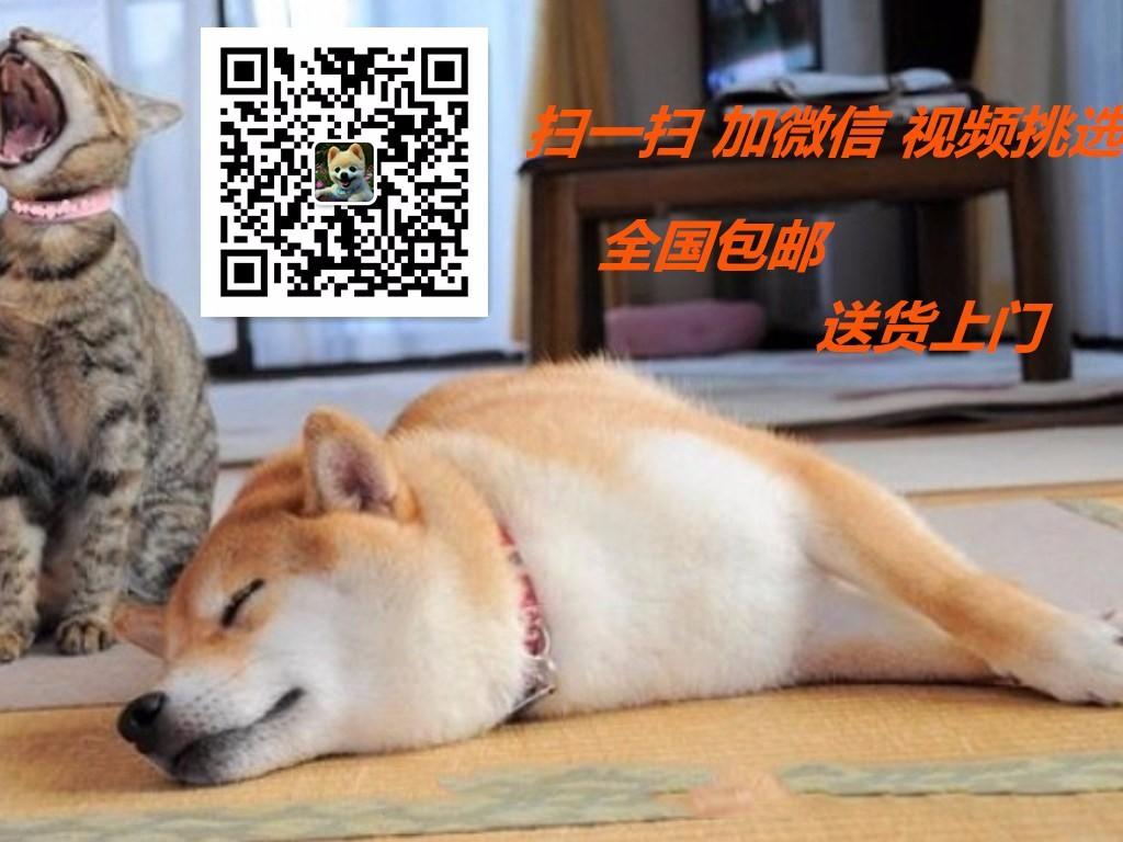 资阳市售玩具体泰迪犬迷你体型适合城市公寓饲养宠物狗5
