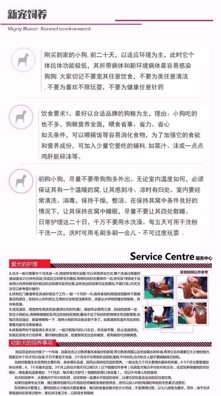 诚信交易广州自家纯种泰迪犬健康终身保障签协议送用品10