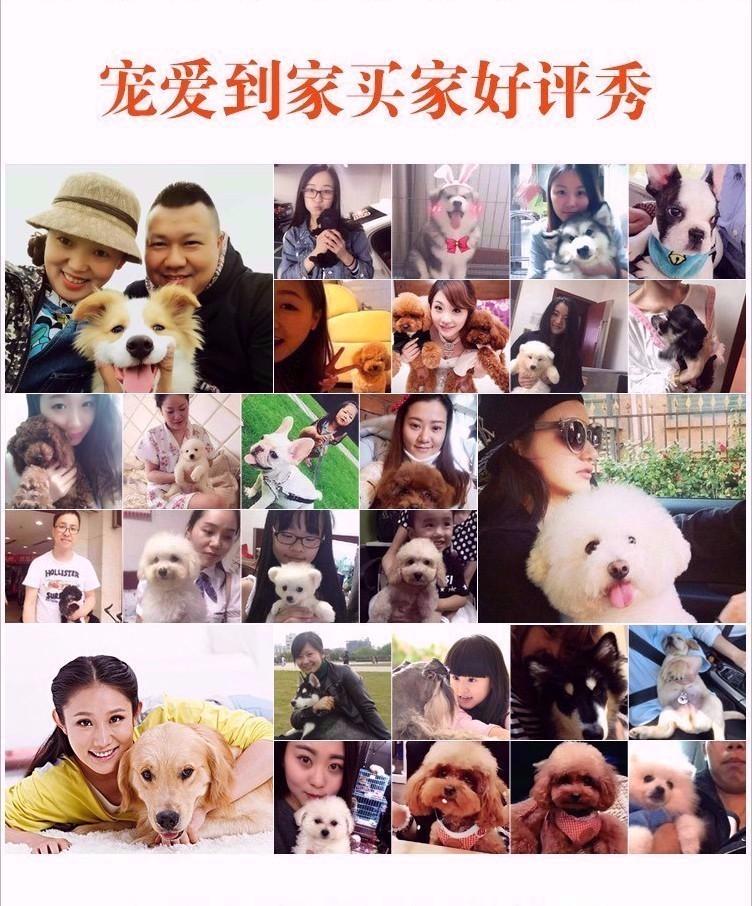 诚信交易广州自家纯种泰迪犬健康终身保障签协议送用品9