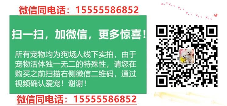 多种颜色的哈尔滨小鹿犬找爸爸妈妈假一赔万签活体协议5