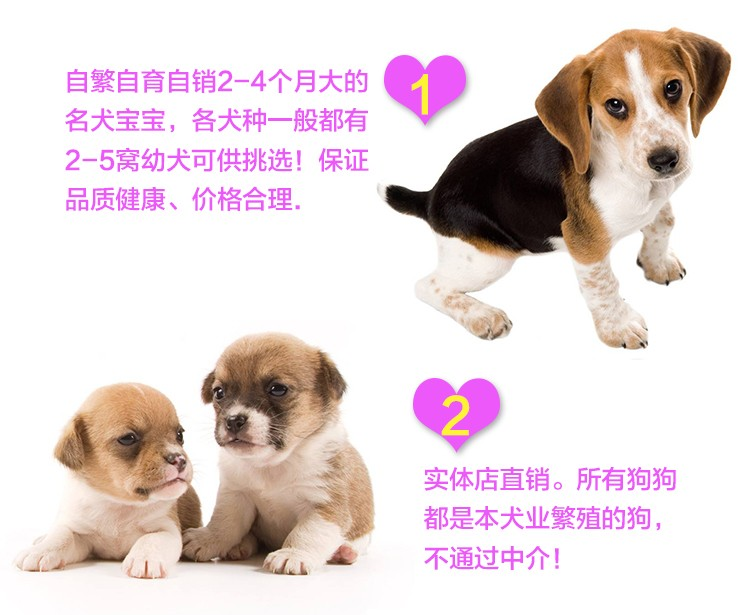 多种颜色的哈尔滨小鹿犬找爸爸妈妈假一赔万签活体协议9