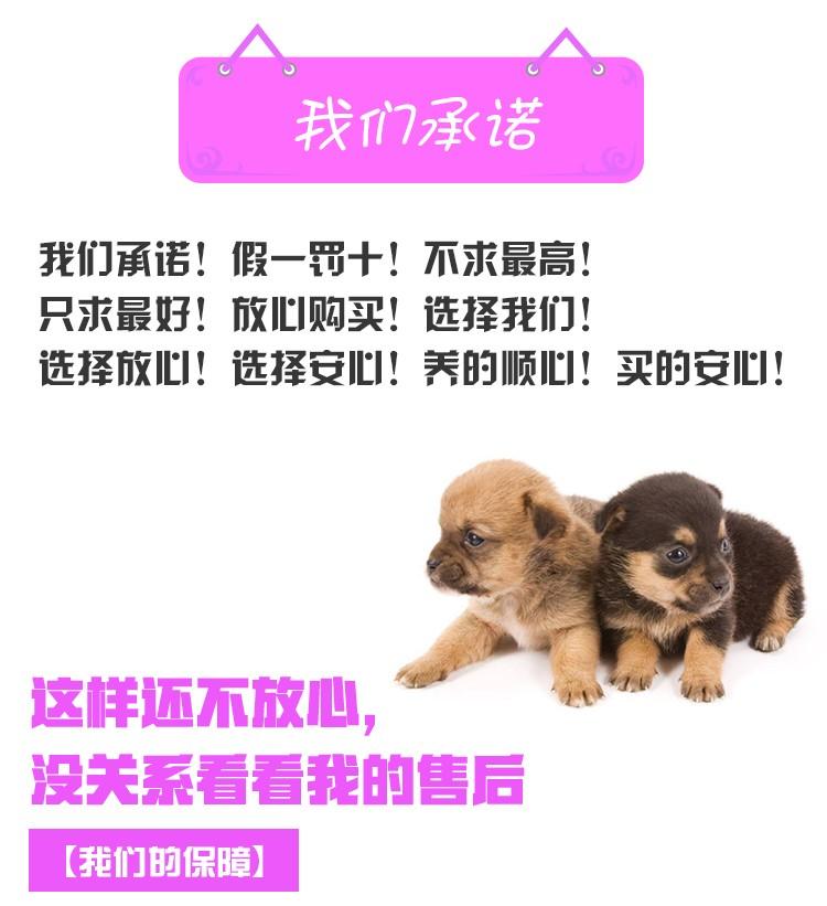 多种颜色的哈尔滨小鹿犬找爸爸妈妈假一赔万签活体协议12
