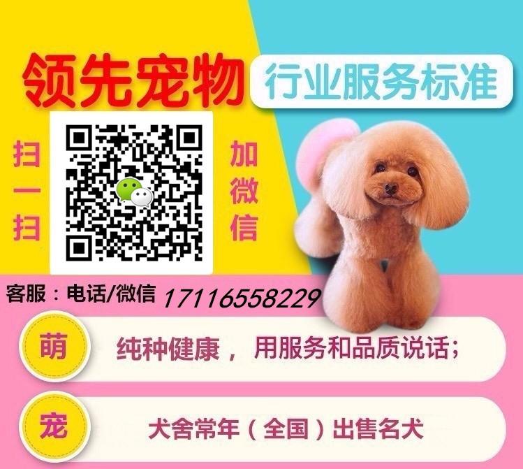 纯种韩系泰迪 银川犬舍本月畅销犬种 千万不要错过哦5