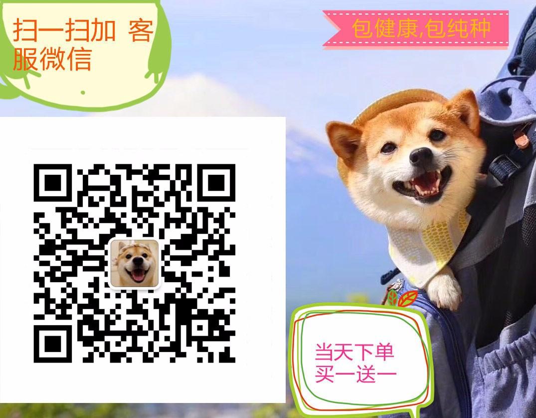 韩国引进萌系佛山泰迪犬出售 随时电话咨询服务24小时5
