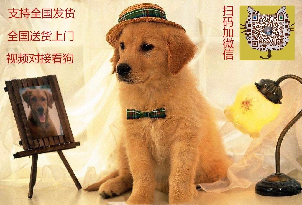 都市萌犬 丽人最佳伴侣 太原出售纯种泰迪熊5