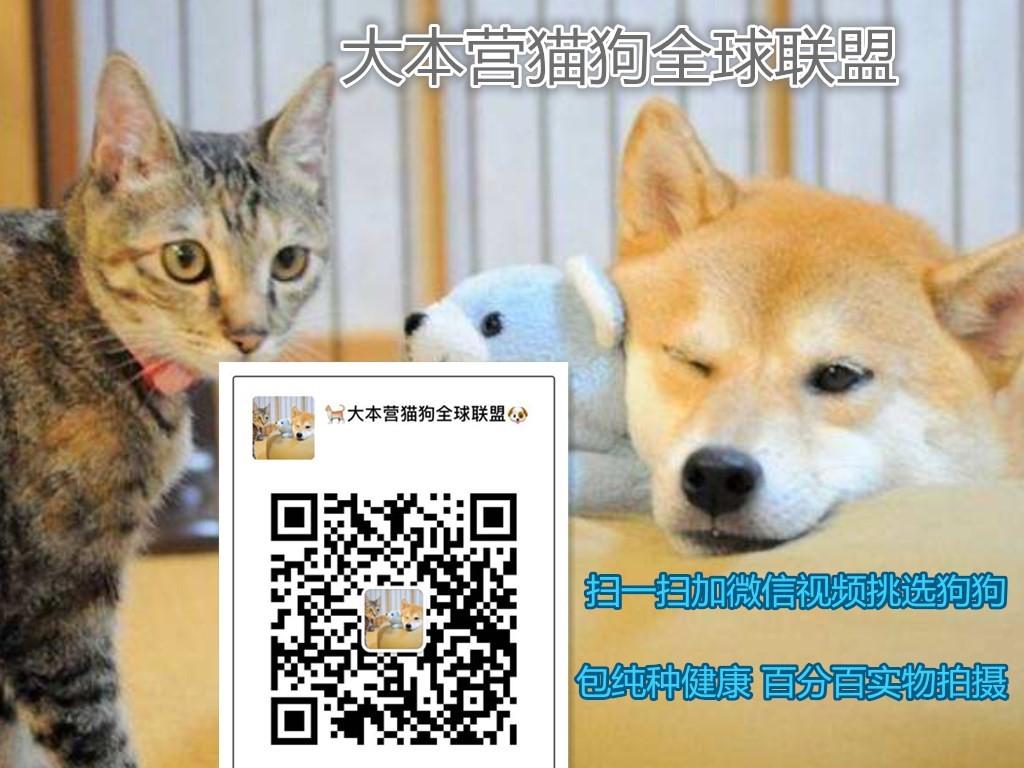国外引进纯种赛级血统韩系泰迪犬唐山热卖 质保健康5