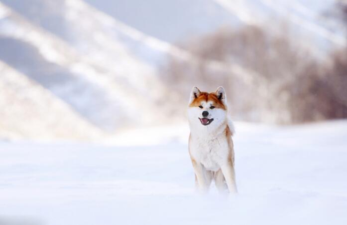 它的笑治愈人心 这么暖的秋田犬你不想养一只吗?