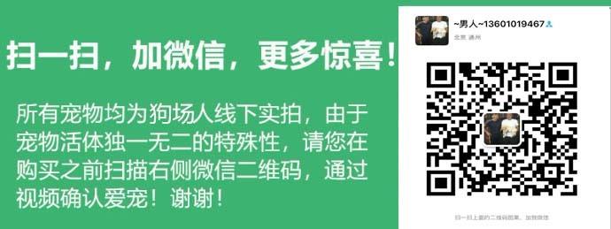 天津本地养殖基地出售韩系泰迪犬 有问题可来退换5