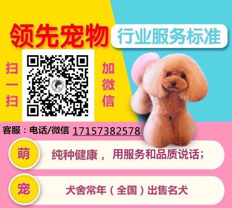 广东出售颜色齐全身体健康泰迪犬签订终身纯种健康协议5