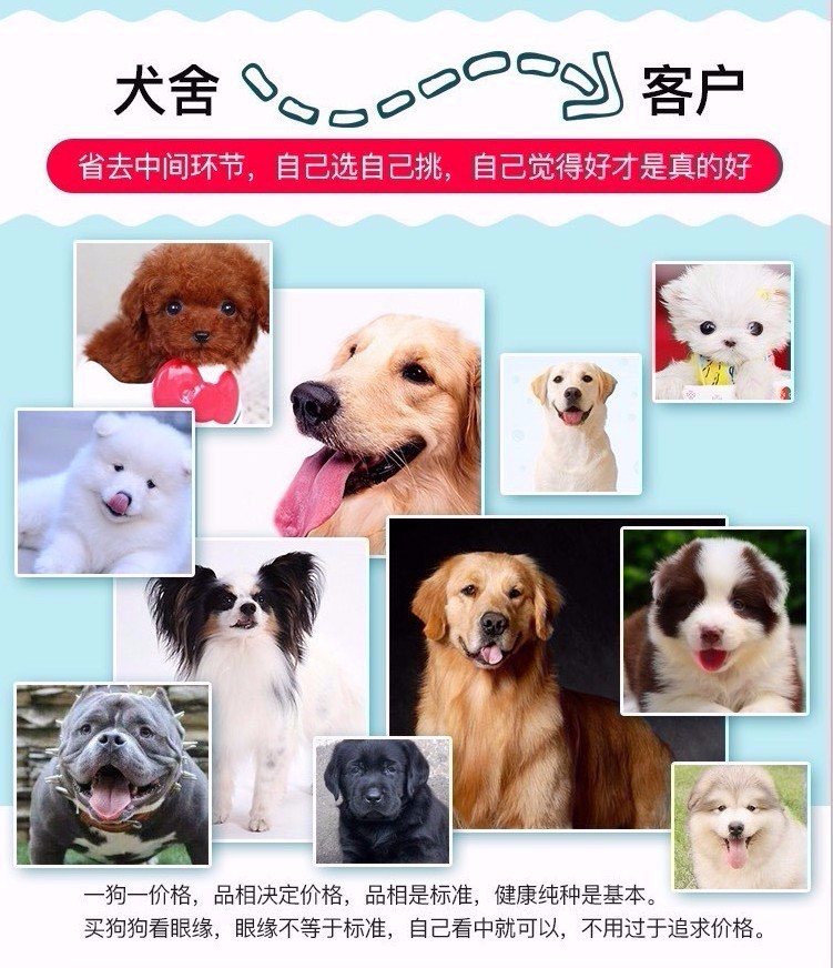广东出售颜色齐全身体健康泰迪犬签订终身纯种健康协议12