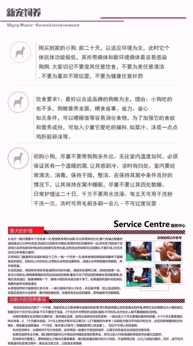 广东出售颜色齐全身体健康泰迪犬签订终身纯种健康协议15