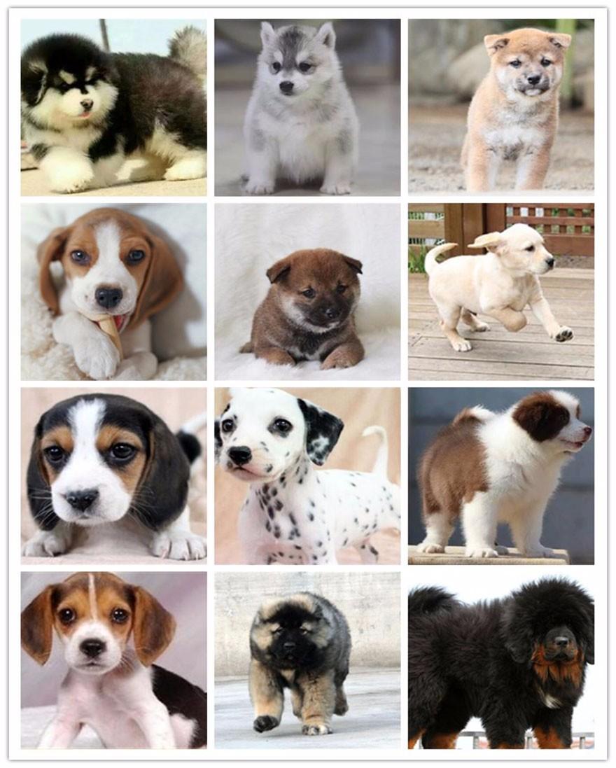 萌萌哒很可爱的台州泰迪犬找爸爸妈妈 公母均有8