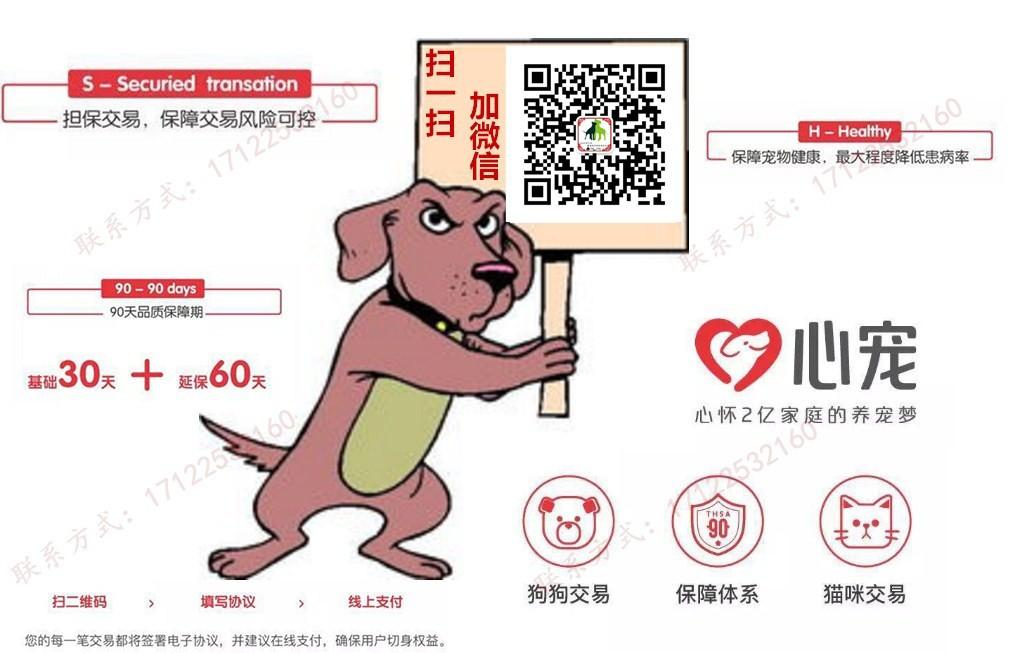 国际注册犬舍 出售极品赛级泰迪犬幼犬同城免费送货上门5