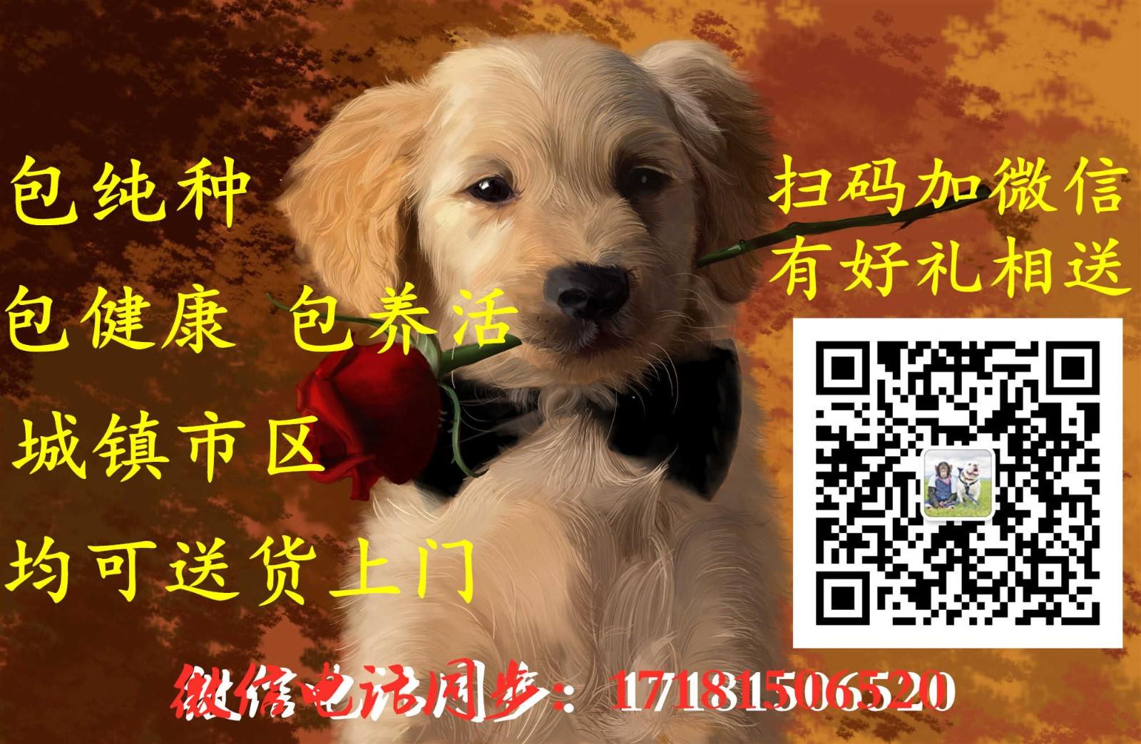 成都大型犬舍低价热卖极品杜高犬签订协议包细小犬瘟热5