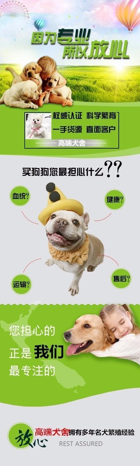 威海专业狗舍促销泰迪犬苹果脸蛋小短嘴超可爱8