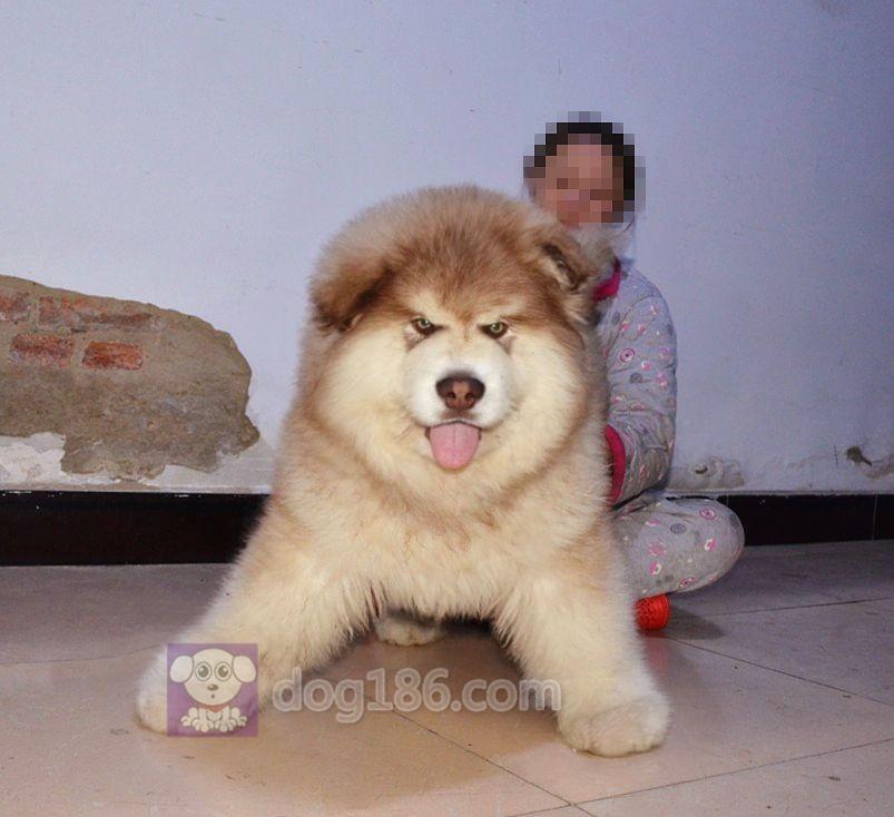 纯种活体宠物狗狗阿拉斯加犬幼犬家养阿拉斯加真狗幼崽