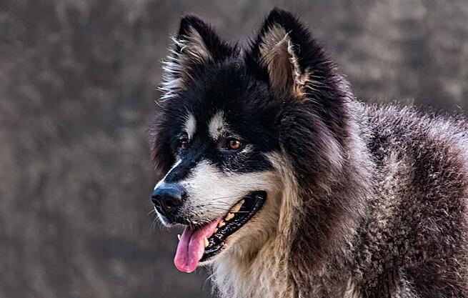 爱狗人士一生一定要养只阿拉斯加犬哦,欢乐多多!