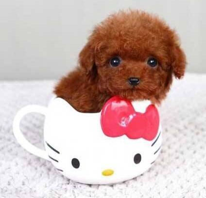 娇小可爱的茶杯犬 随便卖个萌就能圈粉无数