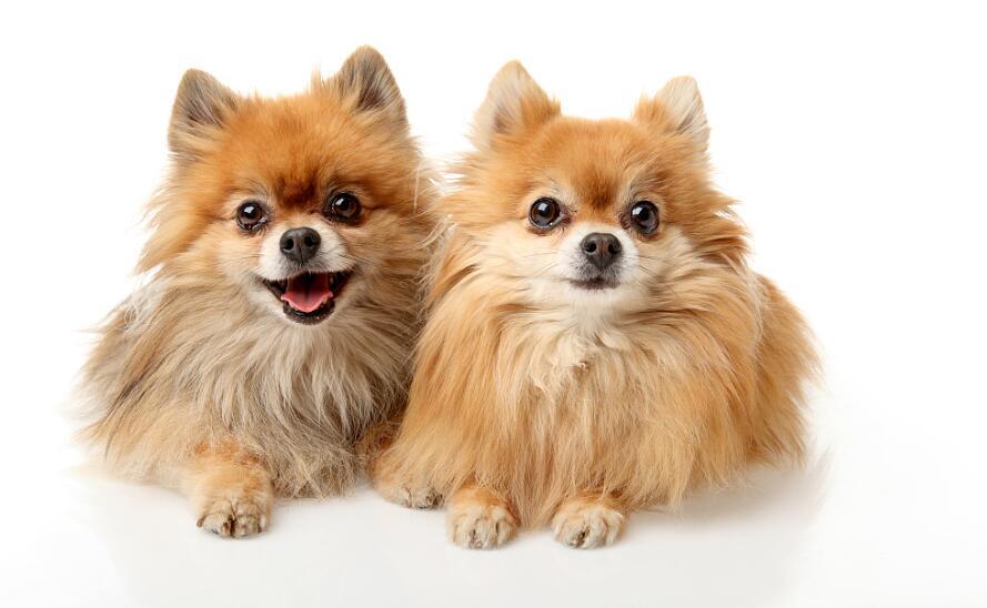 你知道博美犬的生活习性和挑选技巧吗?