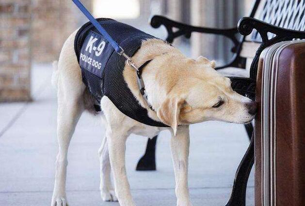 """为何我国警犬中不见哈士奇身影?难道是因为它""""二""""吗"""
