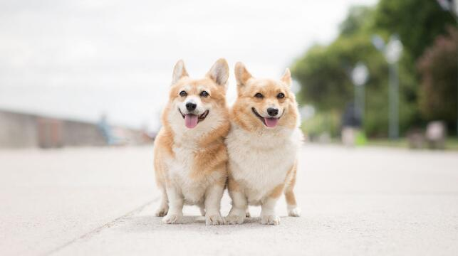 大型犬不受欢迎?为何现在养小型犬的人越来越多