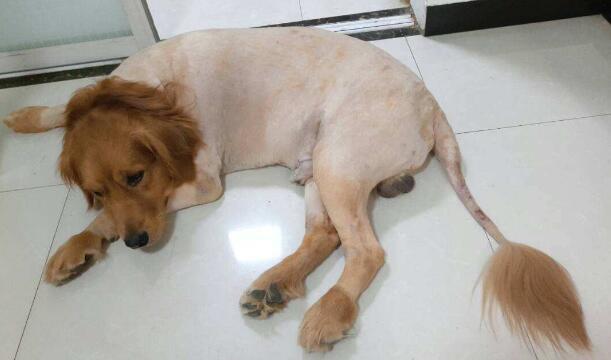 又到了狗狗脱毛的季节了,如何帮助狗狗健康脱毛