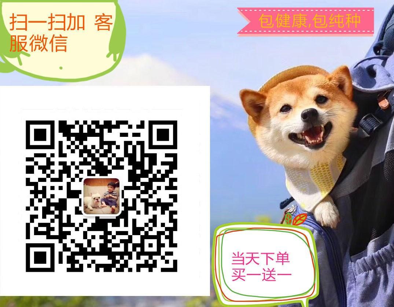 连云港纯种阿拉斯加雪橇犬出售 漂亮可爱乖巧颜色全5