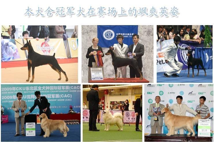 毛量大面相甜美的广州泰迪犬找新家最优信誉最诚服务12