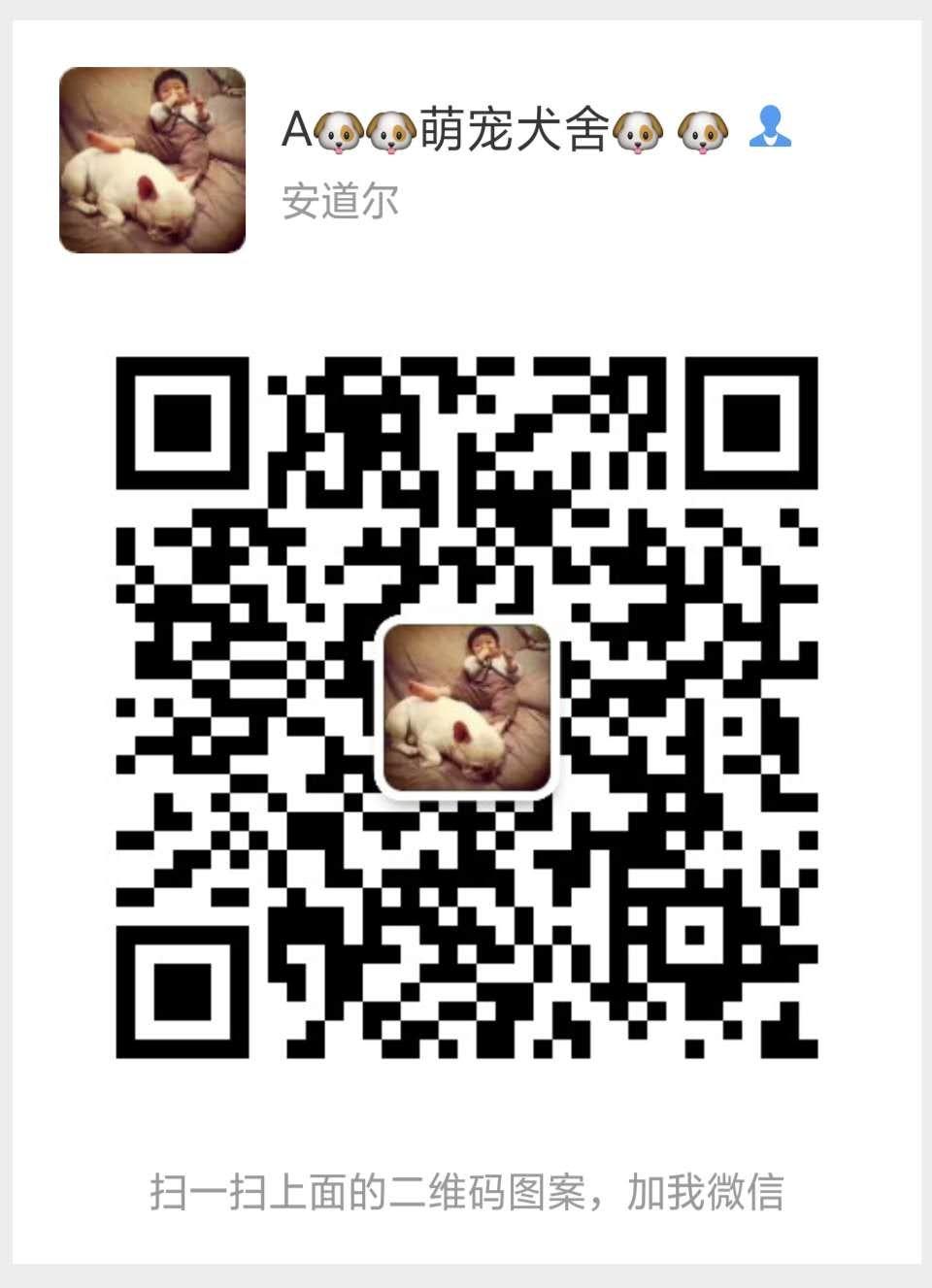 毛量大面相甜美的广州泰迪犬找新家最优信誉最诚服务5