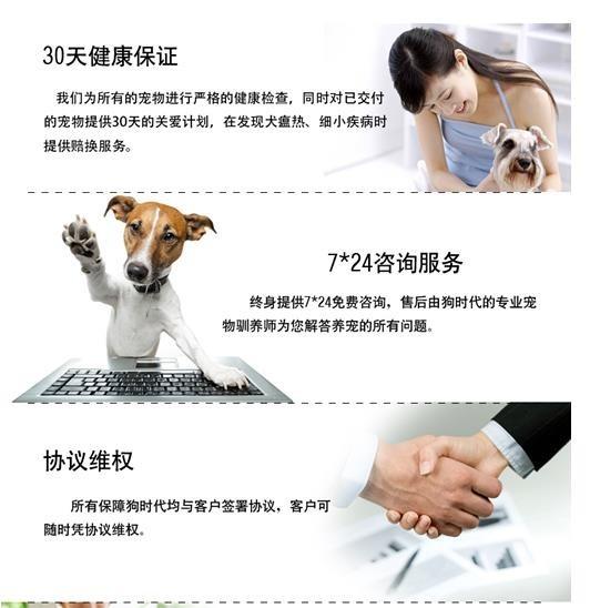 毛量大面相甜美的广州泰迪犬找新家最优信誉最诚服务9