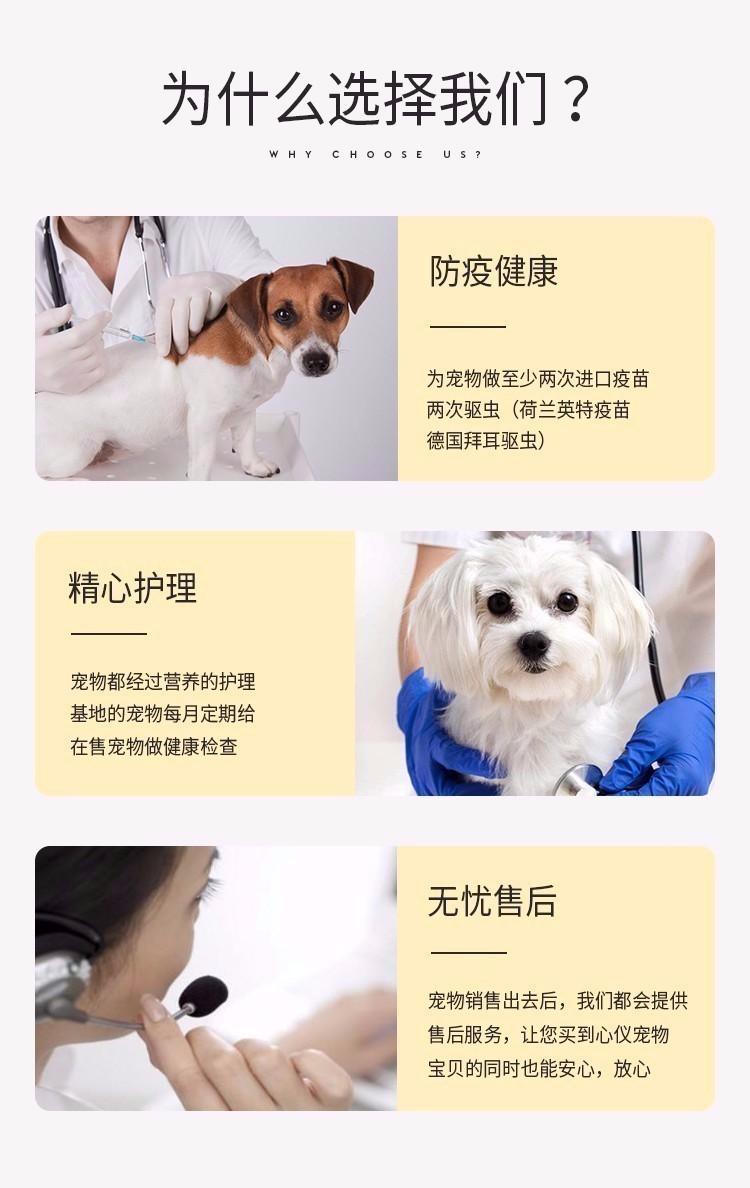 福州实体店出售精品茶杯犬保健康品质一流三包终身协议7