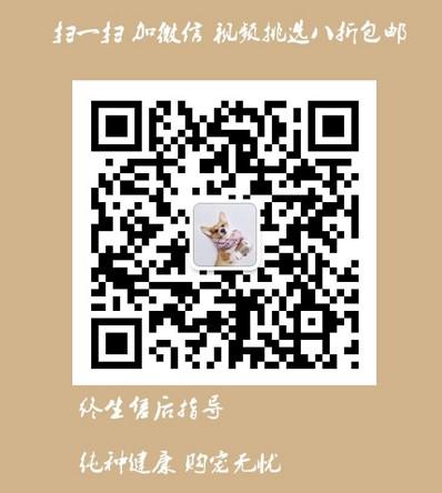 杭州韩系超小体玩具犬泰迪熊宝宝售品质保终身签协议5