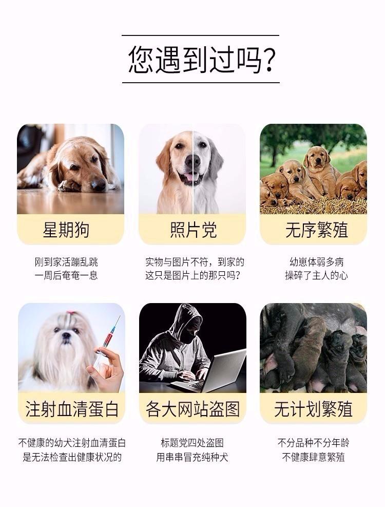 热卖青岛狗场精品椒盐色大胡雪纳瑞带健康证签协议8