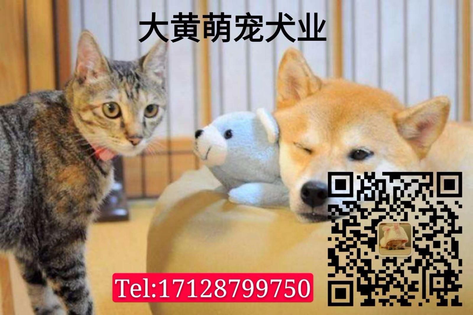 热卖青岛狗场精品椒盐色大胡雪纳瑞带健康证签协议5