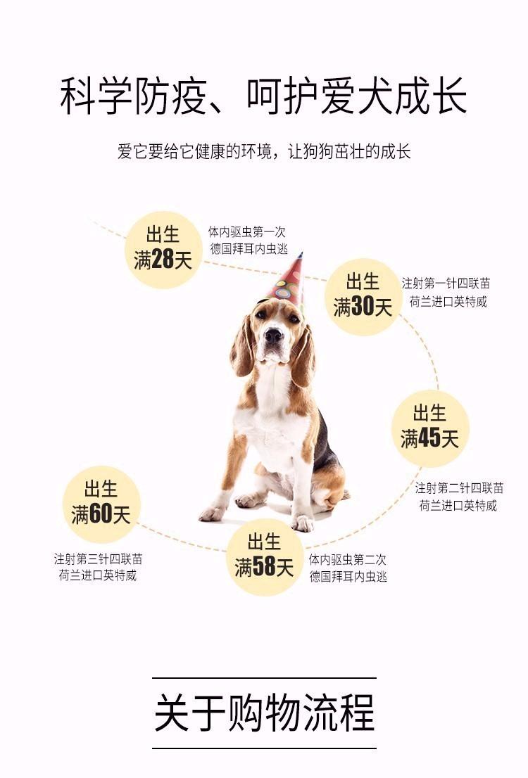热卖青岛狗场精品椒盐色大胡雪纳瑞带健康证签协议10