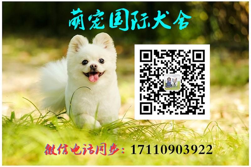 出售泰迪犬宝宝,价格美丽品质优良,三包终生协议5