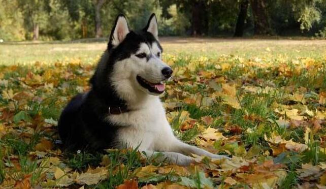 哈士奇智商高吗?在狗狗中排名能排多少?
