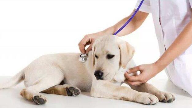 狗狗得了细小怎么办?还能治愈吗