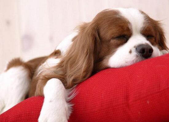 狗狗将为人母该怎么照顾?这么做生一窝健康狗宝
