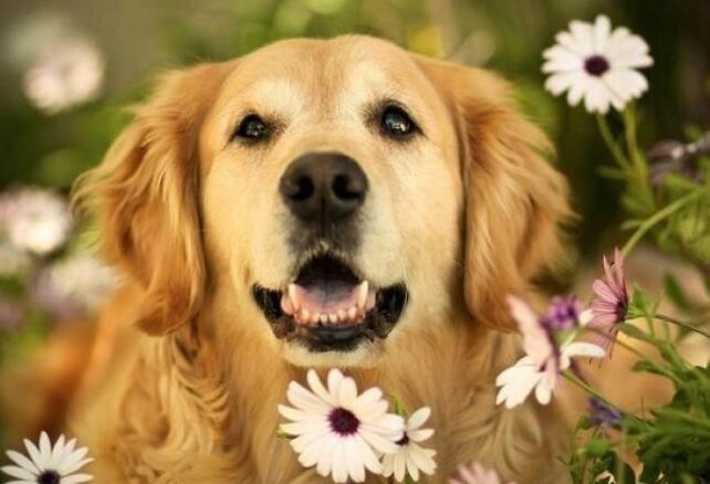 老狗是宝!护理大龄金毛的四个细节