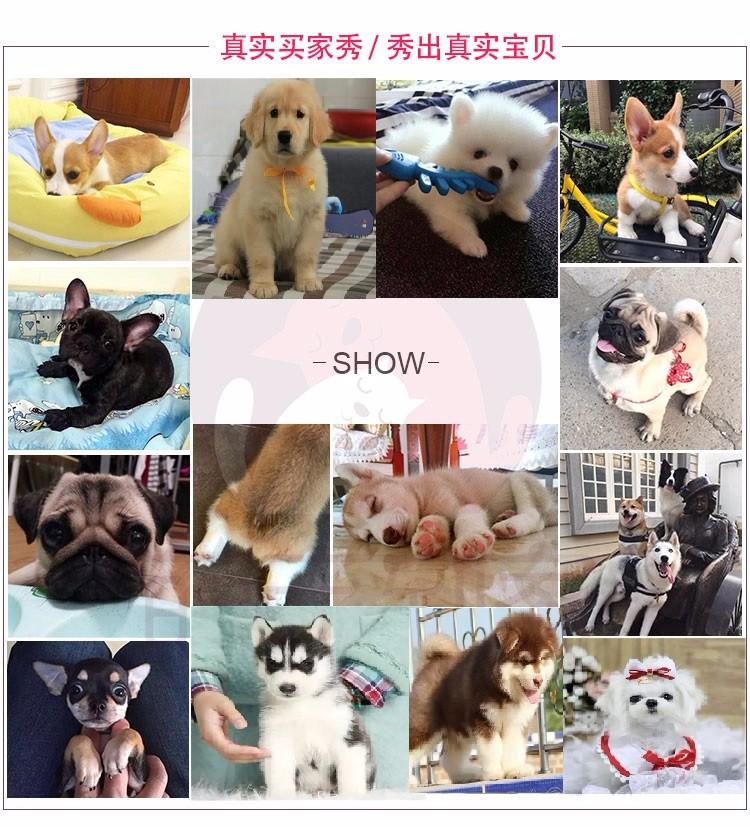 出售颜色齐全身体健康蝴蝶犬喜欢加微信可签署协议8