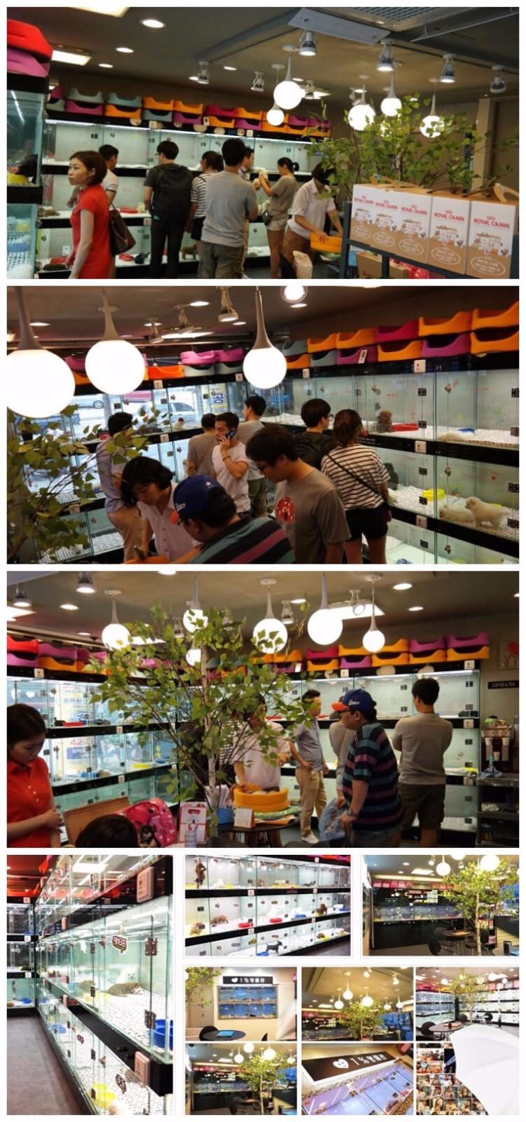 杭州家养精品茶杯犬玩具泰迪犬贵宾狗宠物狗包健康7