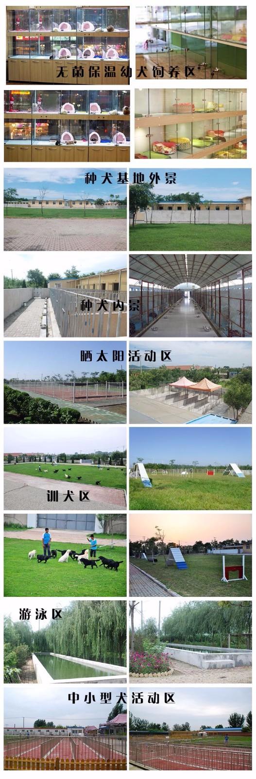 杭州家养精品茶杯犬玩具泰迪犬贵宾狗宠物狗包健康6
