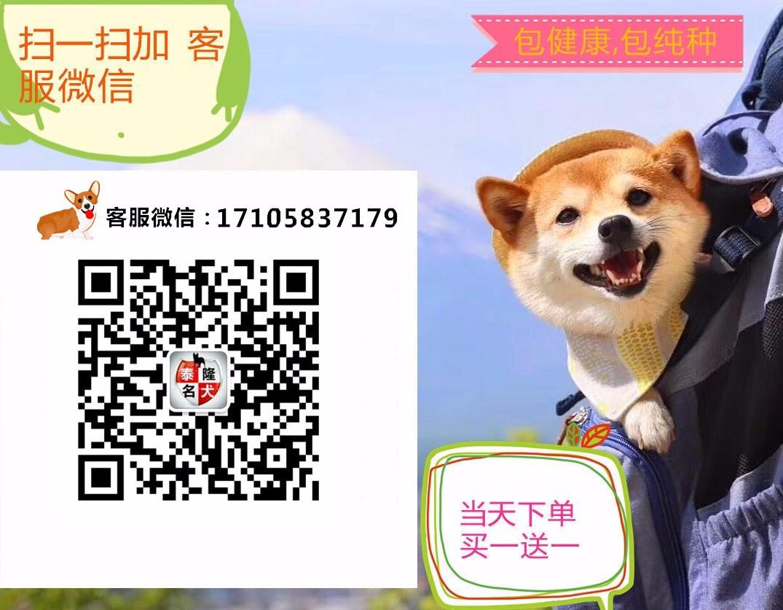 杭州家养精品茶杯犬玩具泰迪犬贵宾狗宠物狗包健康5